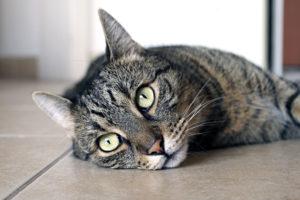 cute-cat-lying-down